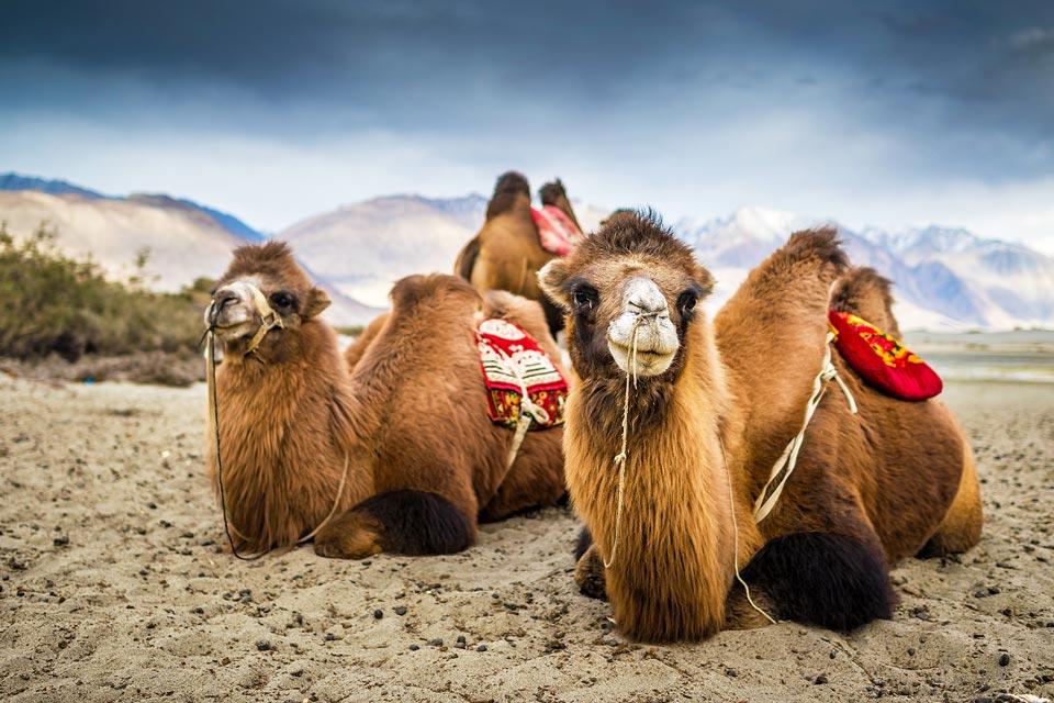 Kamel in Landschaft