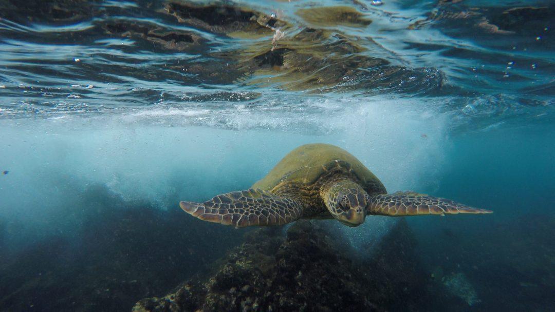 Schildkroete taucht unter Wasser